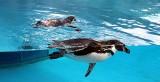 Kiedy pingwiny ze śląskiego zoo wrócą na wybieg? Czekamy, by do pingwiny wskoczyły do zewnętrznego basenu