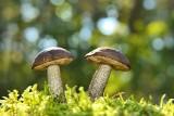 Uwaga grzybiarze! Grzybiarz jak saper myli się tylko raz. Co zrobić, by uniknąć zatrucia grzybami?