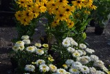 Takie kwiaty, krzewy i drzewa można kupić na giełdzie samochodowej na Załężu [ZDJĘCIA]