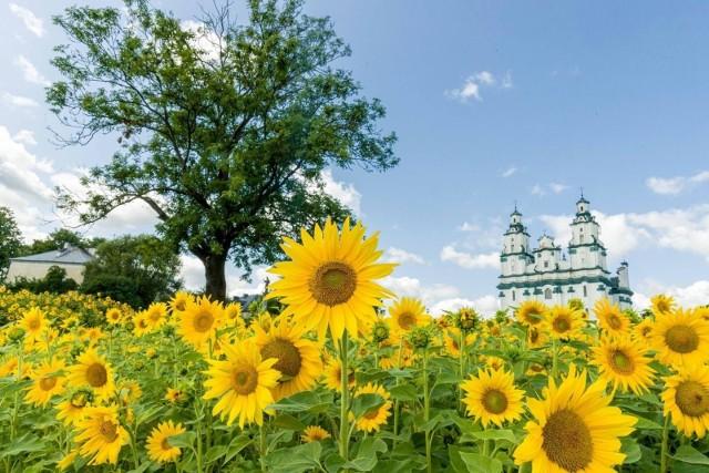 Tak wyglądają pola słoneczników w Białymstoku. W Opolu na podobne trzeba poczekać.