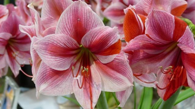 Zwartnica błędnie nazywana amarylisemPotocznie przyjęło się, że amarylisem nazywa się zwartnicę (to błąd, ponieważ to różne rośliny). Okazałe kwiaty tych pięknych roślin doniczkowych wyglądają zachwycająco, tym bardziej, że mogą pojawiać się zimą.