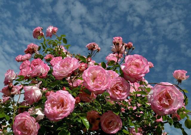Róże nawozić trzeba - do wyboru mamy nawozy organiczne oraz mineralne.