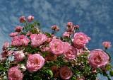 Nawożenie róż krok po kroku. Jaki nawóz do róż stosować, kiedy i ile razy nawozić róże