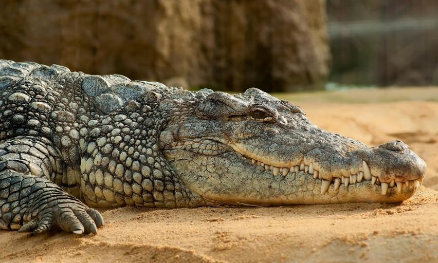 4. Odchody krokodyla...