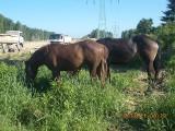 Konie uciekły ze stadniny i biegały po mieście. Dotarły na plac budowy drogi ekspresowej S-14 ZDJĘCIA
