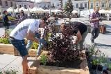 Na Rynku w Kielcach powstała doniczkowa łąka kwietna. Rośliny sadzili zawodnicy Vive Łomża Kielce (WIDEO, zdjęcia)