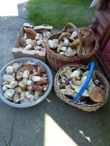 W lasach zaroiło się od grzybów. Do koszyka zbieramy tylko zdrowe okazy