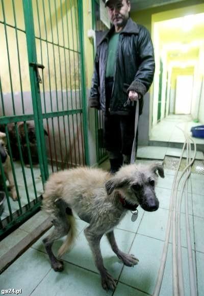 To jeden z psów przywiezionych z ul. Akwarelowej. Zwierzęta są w tak złym stanie, że kilka z nich będzie prawdopodobnie uśpionych.