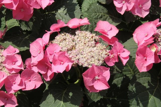 Hortensja Veerle wyróżnia kwiatostanem  zebranym w płaski baldachogrona. Kwitnie od połowy czerwca.
