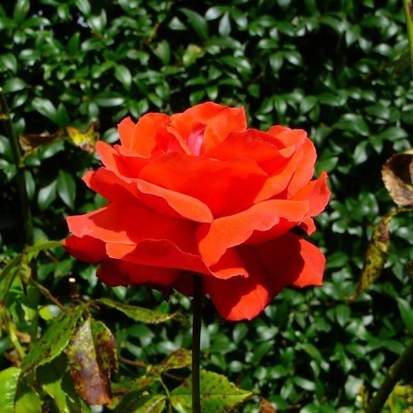 Na trwałość kwiatów ciętych wpływa też głębokość na jaką zanurzamy łodygi w wodzie. Zwykle wystarczy 3 - 5 centymetrów.