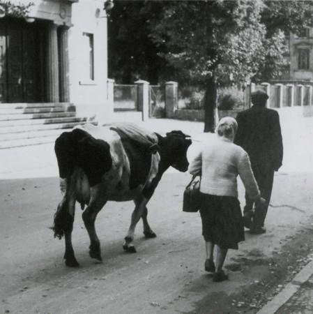 Jedno z najbardziej znanych zdjęć Waldemara Kućki z parą prowadzącą krowę na postronku po ul. Teatralnej na wysokości Teatru Osterwy powstało około 1960 r.