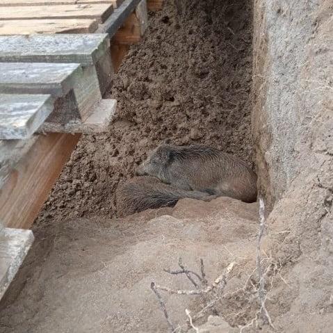 Dwa dziki utknęły w dole w Kicinie