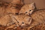 Bardzo rzadkie pustynne koty urodziły się w gdańskim zoo. To wielki sukces, bo to gatunek ginący na wolności. Zdjęcia