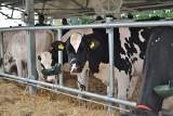 Najwięcej mleka w Polsce doją na Mazowszu i Podlasiu. Eksportujemy głównie sery i twarogi