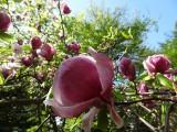 Arboretum Kórnickie: Podziwiaj kwitnące magnolie! [ZDJĘCIA]