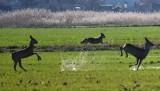 Wilki chciały zaatakować sarny w okolicach Nietkowa. Niesamowite ujęcia pani Katarzyny pokazują okrucieństwo i piękno natury!