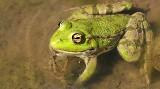 Na Węgrzech spadł deszcz żab