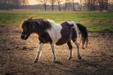 Ze stadniny koni zniknął kucyk. To karmiąca matka. Jej córka jest osowiała, szuka jej w stadzie. AKTUALIZACJA