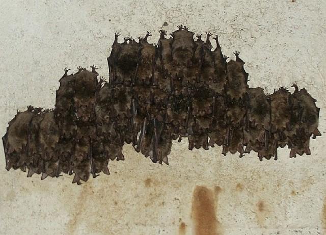 Nietoperze śpią przyczepione do ścian zwisając głowami w dół. Niekiedy tworzą kolonie liczące nawet kilkaset sztuk.
