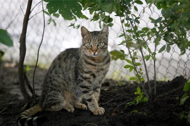 W Krakowie żyją tysiące dzikich kotów. Aby się nie rozmnażały, trzeba je sterylizować.