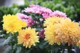 Chryzantemy – jak pielęgnować te jesienne kwiaty