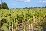 Uprawa tytoniu w Polsce wymaga wpisu do rejestru. Mniej rolników chce go na polu