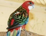 Zabłąkana papuga oddana do zoo