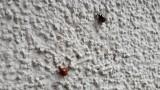Biedronki azjatyckie wciskają się do domów na jesień. Wchodzą drzwiami i oknami. Wytwarzają uczulające enzymy. Szkodzą alergikom