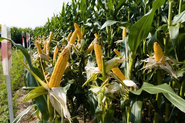 Na powodzenie plonów upraw kukurydzy wpływ ma wybrana odmiana