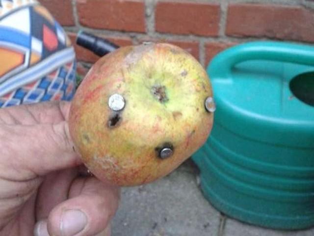 Takie jabłka ktoś podrzucił krowom pasącym się na łące w Boleszewie w gminie Sławno.