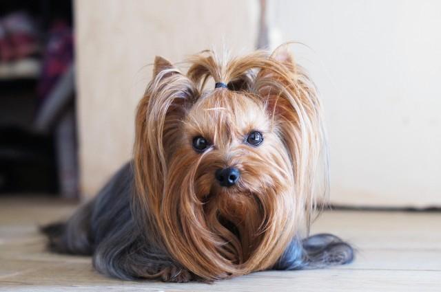 Są takie psy, które zamiast sierści mają włosy. Uważa się, że te rasy okażą bezpieczniejsze dla alergików. Niestety, nie jest to regułą, a to, czy włos lub sierść psa nas uczula, najlepiej sprawdzić, odwiedzając wcześniej hodowlę. Jakie rasy psów mają włosy zamiast sierści? Zobaczcie na kolejnych slajdach. Możecie na nie przechodzić za pomocą strzałek lub gestów.
