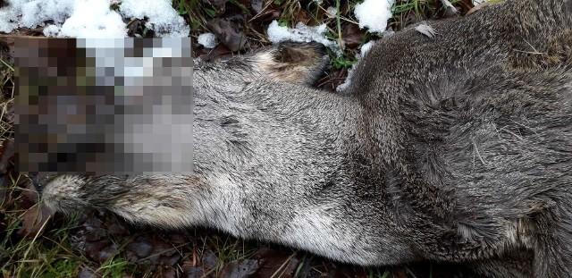 Na terenie województwa kujawsko-pomorskiego, jak wynika z danych, które zebrała Regionalna Dyrekcja Ochrony Środowiska w Bydgoszczy, żyje ok. 120-130 wilków.