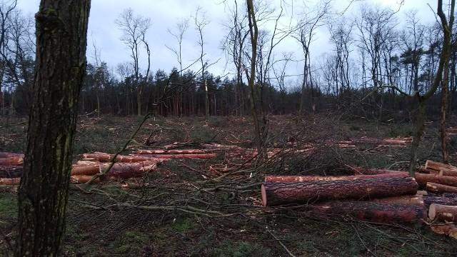 Od początku roku donosimy o kolejnych wycinkach w Zielonej Górze, m.in. w parku Tysiąclecia, przy ul. Królewny Śnieżki czy też na terenie przedszkola na Zaciszu. Każdy z tych przypadków jest inny, ale teraz doszedł nowy - przy ul. Brzozowej w Przylepie. Dlaczego usunięto część drzew? PRZECZYTAJ TAKŻE: ZIELONA GÓRA. Trwa wycinka drzew na terenie Miejskiego Przedszkola nr 22 na Zaciszu. Co jest powodem?Wycinkę rozpoczęła się w zeszły czwartek, 20 stycznia.  – Prace trwały do późnych godzin nocnych. Zakończyły się dopiero po północy po interwencji policji. Ale następnego dnia rano o godz. 7.00 zostały wznowione i oglądaliśmy ciąg dalszy wycinki. Sosny leciały jak zapałki, liściaste drzewa zostały połamane, poszarpane. Wyglądało to wszystko wręcz tragicznie – skarżą się mieszkańcy ul. Brzozowej. I dodają, że nie rozumieją, dlaczego usunięto tak wiele drzew. Okazuje się, że prace zostały przeprowadzone na zlecenie Nadleśnictwa Zielona Góra. – Wycinka była elementem walki z kornikiem ostrozębnym, z którym zmagamy się w Zielonej Górze od pewnego czasu. Dzięki wycince chcemy zdusić ognisko szkodnika, żeby ochronić okoliczne lasy. To najskuteczniejsza metoda, aby ograniczyć jego rozprzestrzenianie się na drzewostan – tłumaczy nadleśniczy Arkadiusz Kapała. I dodaje, że z tego powodu drzewa trzeba było również wyciąć m.in. w Łężycy czy też przy os. Leśnym. Przypomnijmy, na terenie zielonogórskiej dyrekcji Lasów Państwowych, od dwóch lat, jest prowadzona wycinka drzew, zaatakowanych przez kornika ostrozębnego. Ogółem, w minionym roku, w wyniku gradacji kornika ostrozębnego leśnicy zmuszeni byli wyciąć ok. 1000 hektarów powierzchni lasu.Kornik atakuje drzewa w Zielonej Górze: