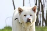Zaginął duży, biały pies rasy akita