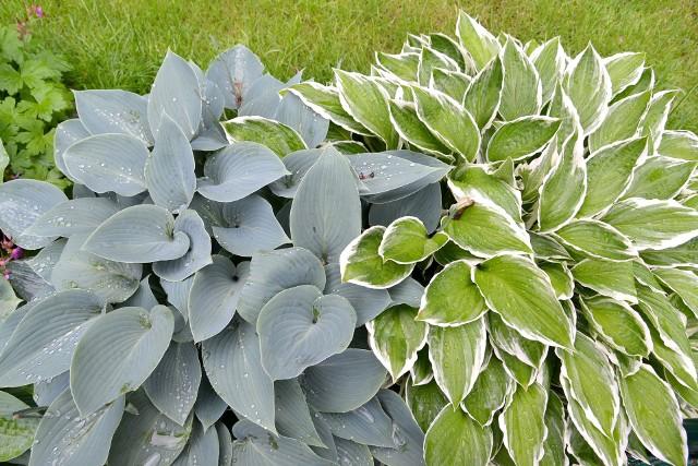 Kompozycje roślinne z udziałem host powinny uwzględniać ich różnorodność kolorystyczną