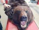 30-latek próbował przemycić do Polski skórę niedźwiedzia brunatnego. Wpadł na przejściu granicznym w Medyce [ZDJĘCIA, WIDEO]