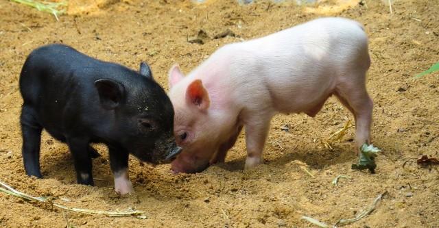 ŚWINIAUbicie świni senniki często traktują jest jako zwiastun sukcesu finansowego - czyimś kosztem. Tarzające się beztrosko w błocie świnie mają oznaczać... rodzinną awanturę.Jedzenie wieprzowiny symbolizuje pomyślność. Podobnie jak wykarmiona, dobrze utuczona świnia, która ma przynieść finansowy sukces.Uwaga! Świński kwik oznacza, ze sprawy pójdą nie po naszej myśli zaś dzika świnia - osobę, która chce nas skrzywdzić.