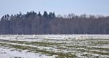 Wrócą na zatokę, gdy lód ustąpi! Setki łabędzi żerowały na polu pod Rzucewem. W poszukiwaniu pożywienia masowo wyszły na ląd