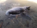 Na jeziorze Reczynek w krótkim czasie padło siedem młodych łabędzi! Co jest przyczyną tej tragedii?