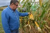 Kukurydza - ważna roślina dla opolskich rolników