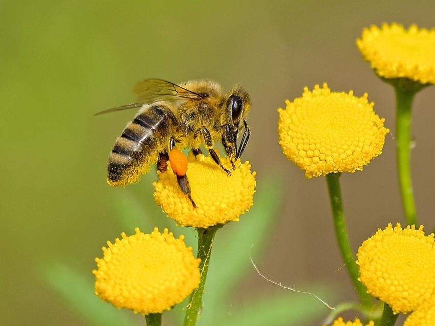 TOP 10 ciekawostek o pszczołach. Tańczą, liczą i rabują
