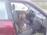 Okalewko. Pies wpadł pod samochód, potem pogryzł pasażera auta