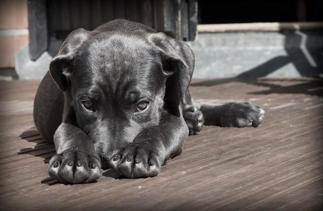 Na co najczęściej chorują psy rasowe? Zobaczcie >>>