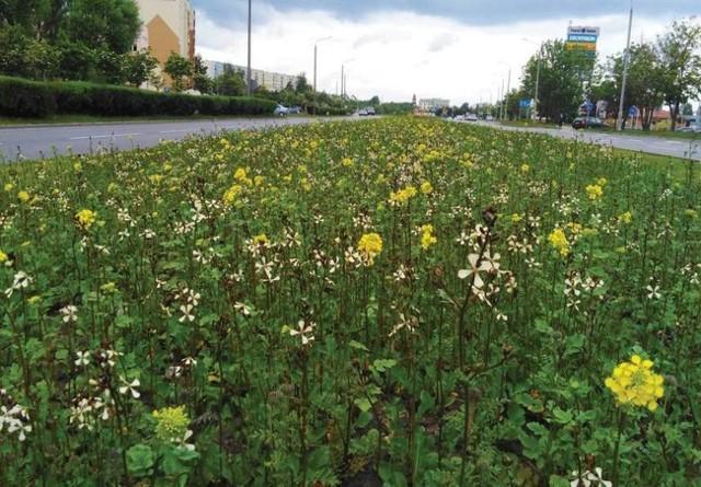 Tak prezentuje się łąka kwietna przy alei Niepodległości w Inowrocławiu