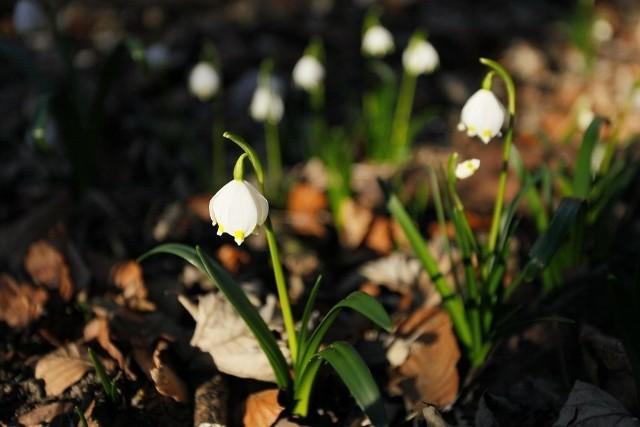 W Śnieżycowym Jarze biało od śnieżyc wiosennych