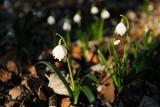 W Śnieżycowym Jarze biało od śnieżyc wiosennych! [ZDJĘCIA]