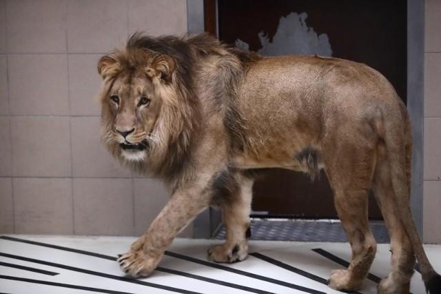 Lew Aion z gdańskiego Zoo jedzie do Francji!