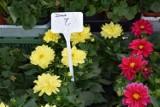 Kwiaty do ogrodu i na balkon. Sprawdziliśmy ceny na targu w Kościerzynie. Ile kosztują surfinie, begonie i pelargonie? [GALERIA]