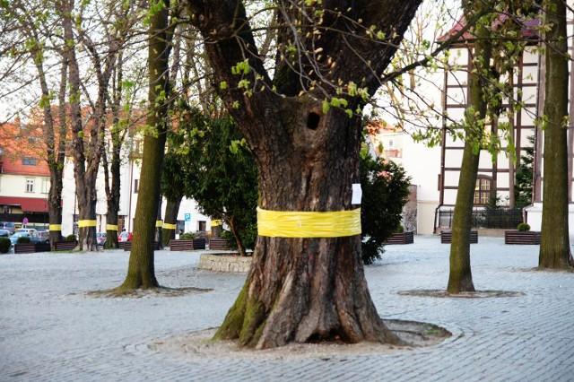W Zielonej Górze kasztanowce są obklejane, w Nowej Soli będą utylizowane liście tych drzew