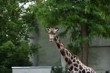 Dzień Żyrafy w łódzkim zoo. Niestety, nie chciały jeść z ręki